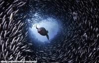 加拿大摄影师拍海狮穿行鱼群隧道掠食